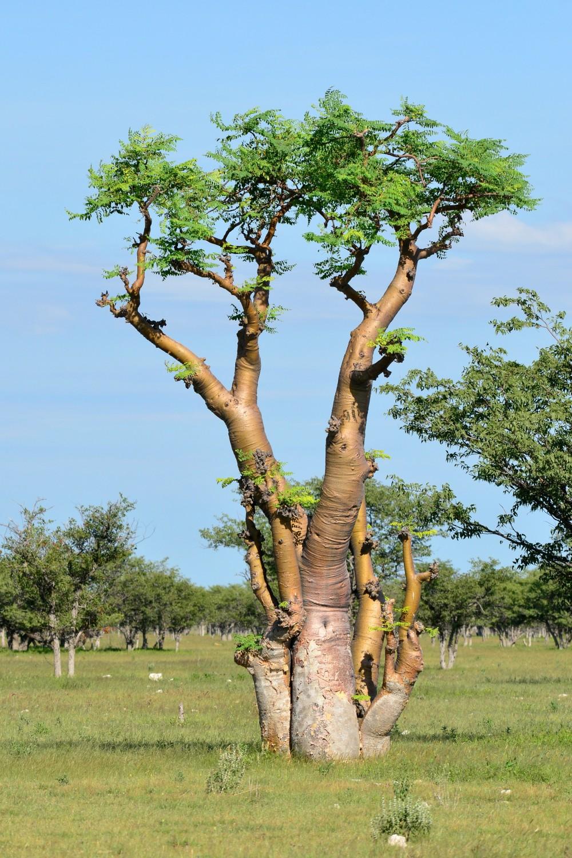モリンガ 生命の木